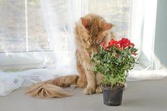 Het rode marmeren Maine-wasbeerkat rood snuiven nam bloemen in een pot toe royalty-vrije stock foto's