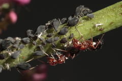 Het rode mieren shepherding installatie-louses-plant stock afbeelding