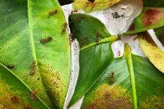 Het rode mierenwerk als groep om hun nest te bouwen royalty-vrije stock afbeelding