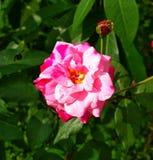Het rode natuurlijke beeld van rozenbloemen Stock Foto