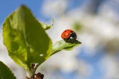 Het rode onzelieveheersbeestje zit op een groen blad tegen de blauwe hemel Royalty-vrije Stock Fotografie
