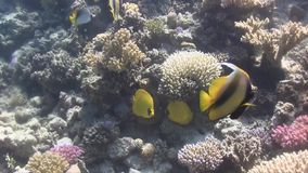 Het rode Overzees bannerfish, Threadfin butterflyfish, maskeerde butterflyfish, al deze aardige vissen zeer goed voor het schiete stock footage