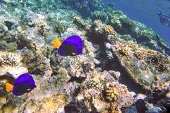 Het rode Overzeese mariene leven Royalty-vrije Stock Foto