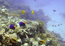 Het rode Overzeese mariene leven Stock Afbeeldingen