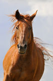 Het rode paard stelt voorzijde in werking Royalty-vrije Stock Fotografie