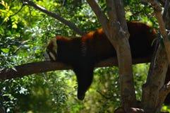 Het rode panda ontspannen op de tak Royalty-vrije Stock Fotografie