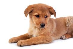 Het rode puppy op witte achtergrond Stock Afbeelding
