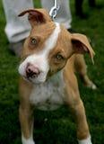 Het rode puppy van Pitbull van de Neus stock foto's