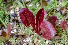 Het rode snijsla groeien naast dilleonkruid in een harmonische het groeien envi stock afbeelding
