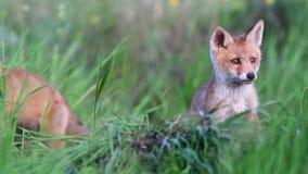 Het rode spel van voswelpen in het lange gras Vulpes stock footage