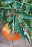 Het rode Tomaat groeien op de wijnstok Stock Foto's