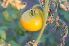 Het rode tomaat groeien op een bed in een moestuin Stock Fotografie