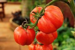 Het rode tomaat groeien in organisch landbouwbedrijf Royalty-vrije Stock Foto's