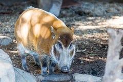 Het rode varken van de Rivier Royalty-vrije Stock Fotografie