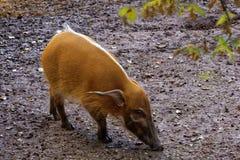 Het rode varken van de Rivier royalty-vrije stock foto's
