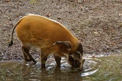 Het rode varken van de Rivier stock fotografie