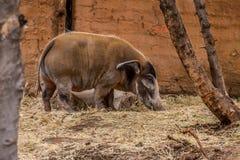 Het rode varken van de Rivier Stock Afbeeldingen