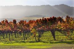 Het rode Verlof van Wijnstokken onder de Wijngaarden Napa van de Stralen van de Zon Royalty-vrije Stock Foto's