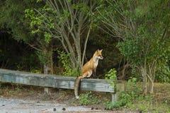 Het rode Vos Stellen op Forest Bench Royalty-vrije Stock Afbeeldingen