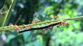 Het rode werk van het mierenteam stock footage