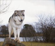 Rode wolf Stock Afbeelding