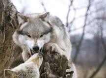 Rode wolf royalty-vrije stock afbeeldingen