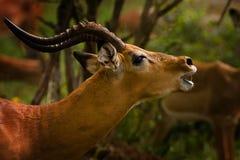 Het roepen van de impala Stock Afbeelding