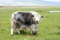 Het roepen van Jonge Jakken in de Vallei van Darkhad van Noordelijk Mongolië stock foto