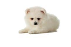 Het romig witte Pomeranian-puppy liggen geïsoleerd op witte backgr royalty-vrije stock afbeelding
