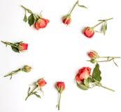 Het ronde kader met rozen, koraal roze die bloem ontluikt, takken en bladeren op witte achtergrond worden geïsoleerd Royalty-vrije Stock Foto's