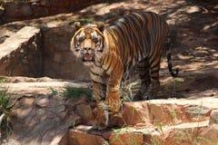 Het Rondsnuffelen van de tijger stock afbeeldingen