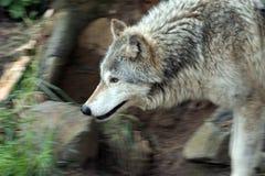 Het rondsnuffelen wolfe. stock foto