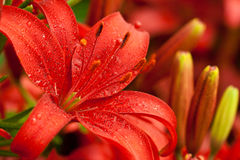 Het rood bloeit lilly Stock Foto