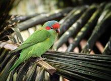Het rood cheeked papegaai op palmvarenblad Royalty-vrije Stock Foto's