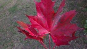 Het rood doorbladert Royalty-vrije Stock Afbeeldingen