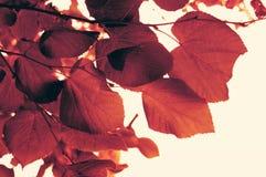 Het rood doorbladert Stock Afbeelding
