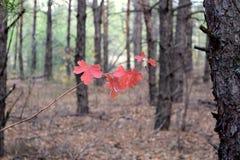Het rood doorbladert Royalty-vrije Stock Afbeelding