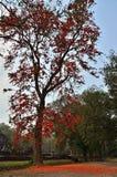 Het rood doorbladert boom Stock Afbeeldingen