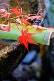 Het rood doorbladert op een bamboebuis Stock Afbeelding