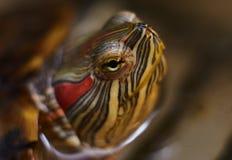 Het rood-eared close-up van de scriptasnuit van schildpadtrachemys Macro stock foto