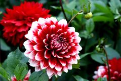 Het rood en het wit van de dahlia stock afbeeldingen