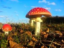 Het rood en wihte vliegt plaatzwam in de herfst met blauwe hemel Royalty-vrije Stock Foto's