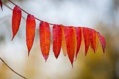 Het rood gaat dicht omhoog in de wildernis weg Tak van de rode bladeren van de herfstdruiven Het gebladerte van Parthenocissusqui stock foto