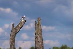 Het rood-gesteunde klauwier, mannetje, streek op de rand van landbouwgrond en bos in Irpin, de Oekraïne neer Stock Foto