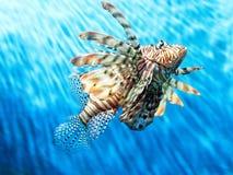 Het rood-lionfish-rood zwemt in blauw water Royalty-vrije Stock Foto