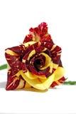 Het rood met geel nam toe Royalty-vrije Stock Foto
