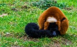 Het rood ruffed de slaap van de makiaap in het gras, aanbiddelijk portret van een kritisch bedreigde primaat van Madagascar royalty-vrije stock foto