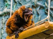 Het rood ruffed makiaap geeuwend met brede geopende mond, die zijn gebit met tanden tonen, grappige bedreigde primaat, kritisch stock afbeelding
