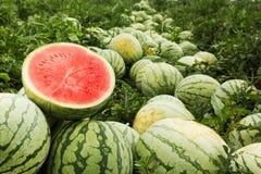 Het rood sneed watermeloen op een stapel van rijpe watermeloenen op een gebied royalty-vrije stock fotografie