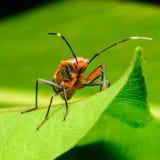 Het rood stinkt Insect op groen blad, een macroschot Royalty-vrije Stock Fotografie